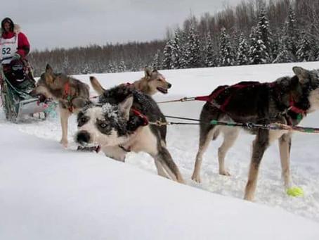 Гонки на собаках. Аляска.