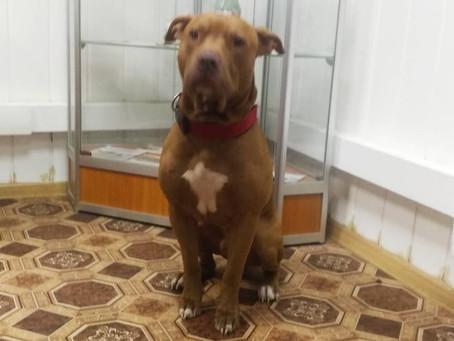 Нежный питбуль в Музее Собаки