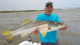Snook Like the Live Bait