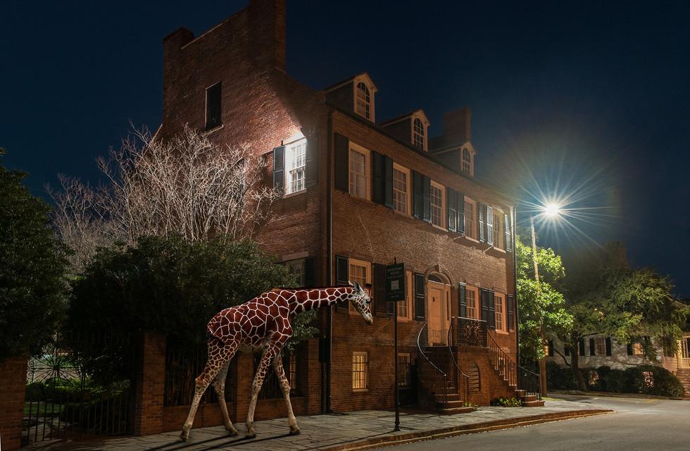 Giraffa Enigmata