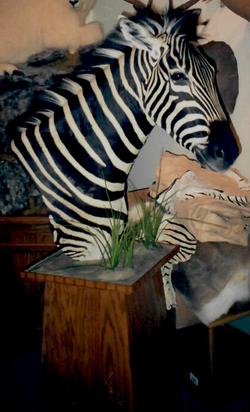zebra ped on base busy backdrop_Cropped