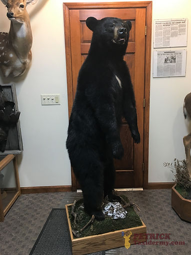 standing Lifesize Black bear.jpg