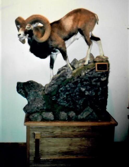 mouflon LS on pedestal habitat