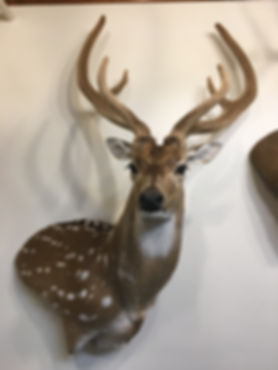 Antlered_Axis Deer #2_IMG_2891.JPG
