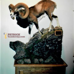 mouflon LS on pedestal habitat[1] (1)
