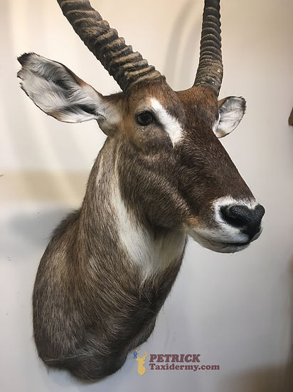 waterbuck side view.JPG