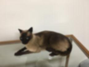 Domestic_Siamese Cat_IMG_2800.JPG