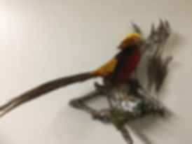 Birds_Golden Pheasant_IMG_2648.JPG