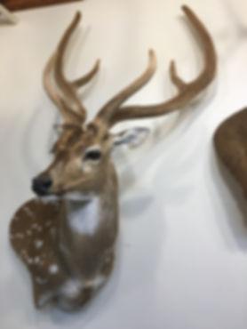 Antlered_Axis Deer_IMG_2893.JPG