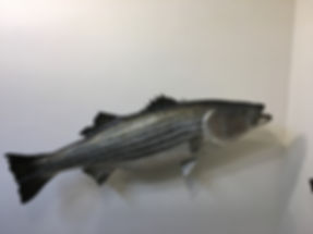 Saltwater_bass #2_IMG_2792.JPG