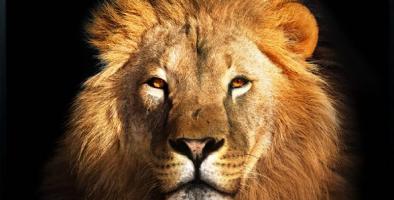 The Lion Look