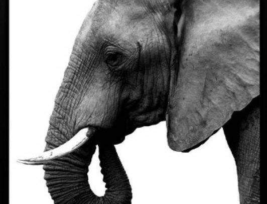 Leo Elephant