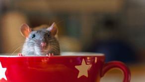 Крысы. Фотографии самых очаровательных питомцев!