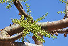 Demand-for-Indian-frankincense-threatens