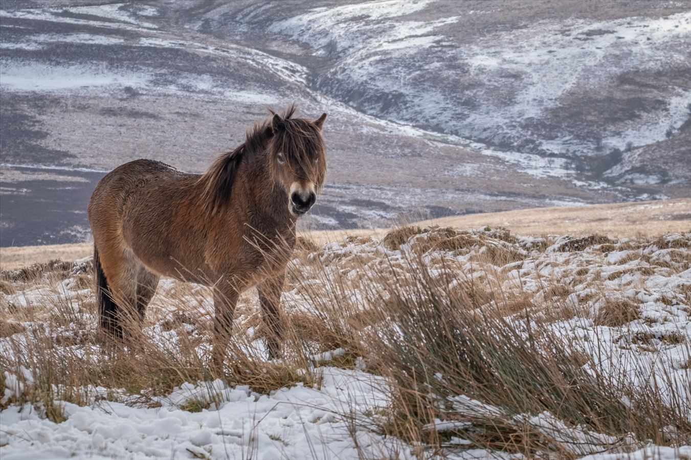 Commended: Pony On Snowy Exmoor - Vicky Dyson