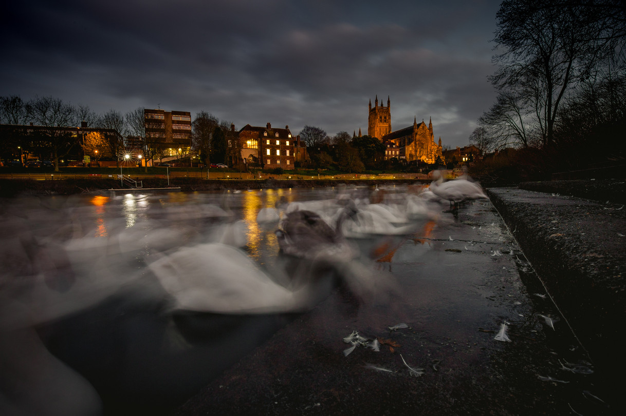 The Swan Sanctuary At Dusk