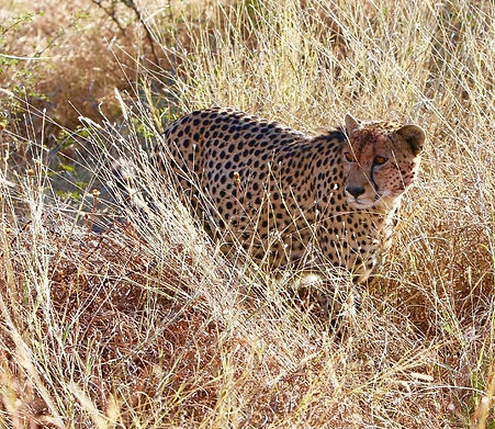 cheetah use.jpg