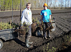 planting haskap at the orchard