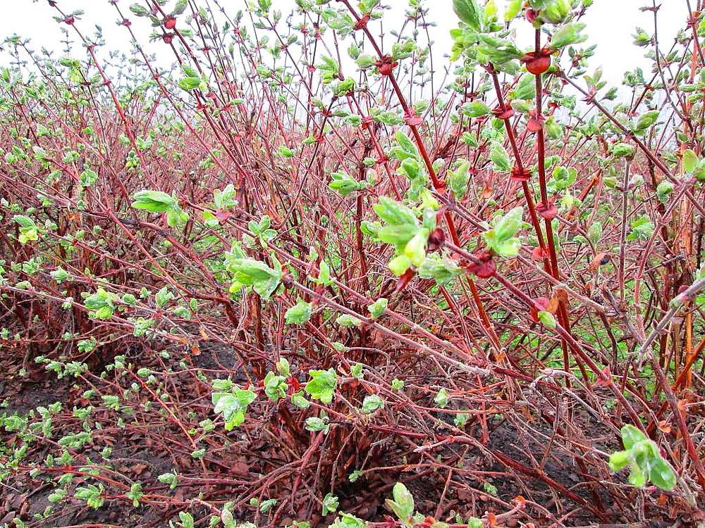 haskap bush spring 2015.jpg