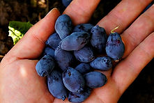 fresh ripe haskap berries in hand