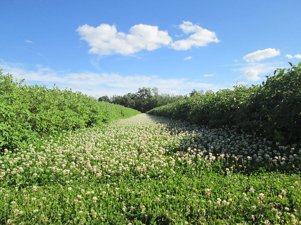 Clover ground cover as part of NLO Holistic Orchard Management