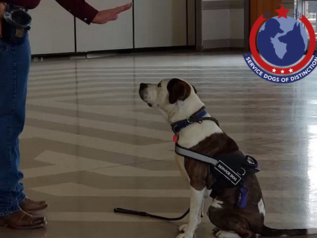 S.D.O.D. Trainer Don Gardner Shows us Some Service Dog Training Techniques Dibbs is Learning.