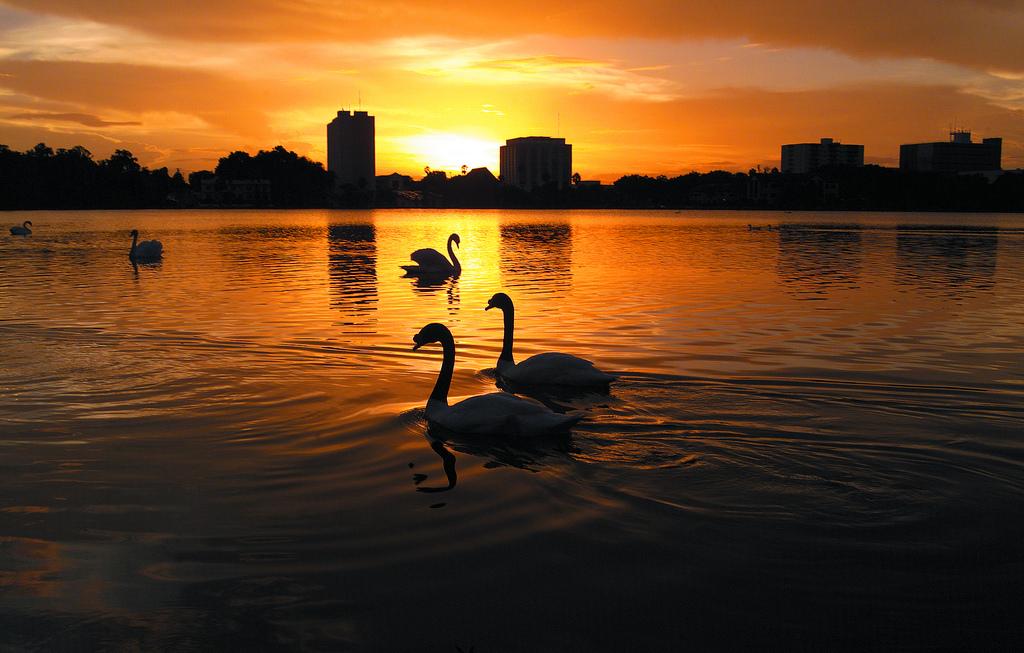 Swans on Lake Mirror