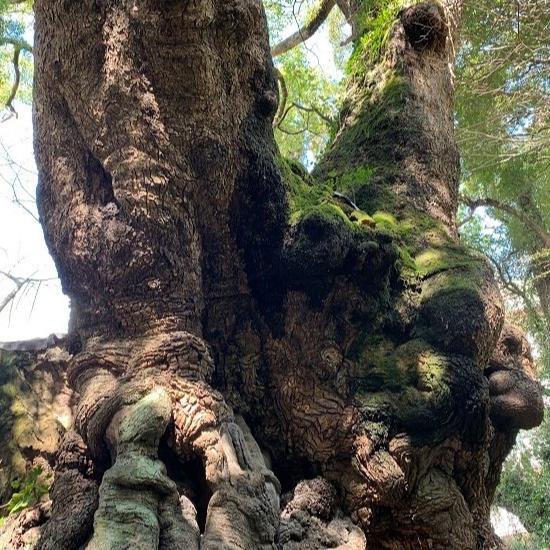 樹齢2000年の御神木「大楠」