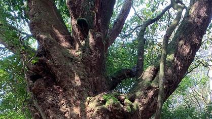 樹齢700年の巨木「アカガシ」