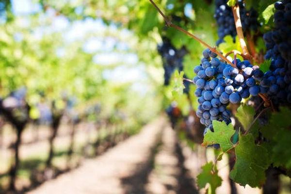 vineyard 1.jpeg