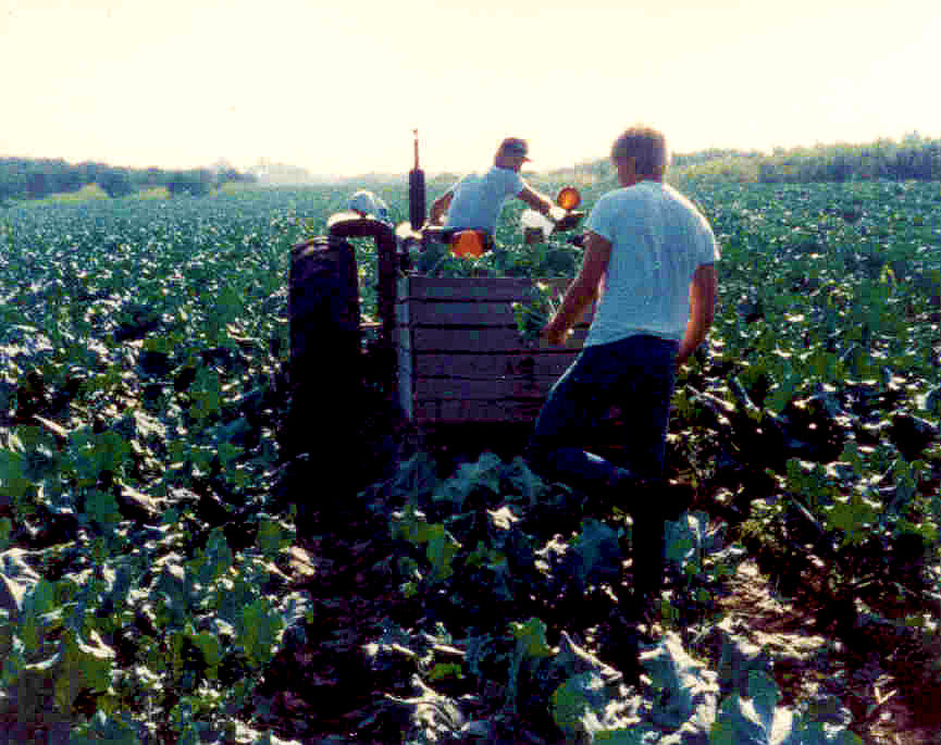 2 guys Cutting broccoli in a field