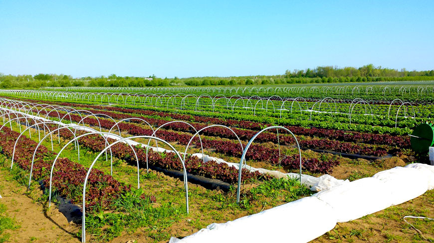 Low tunnels in a lettuce field
