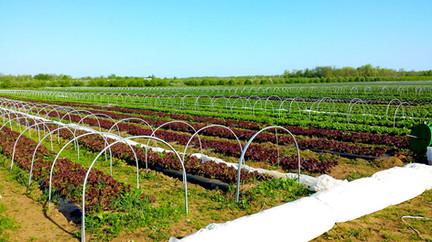 Low tunnels in a lettuce field