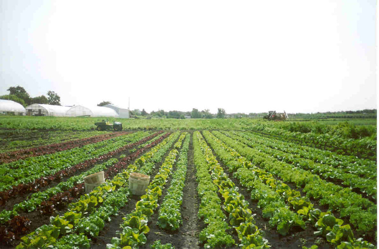 Lettuce raised beds in muck