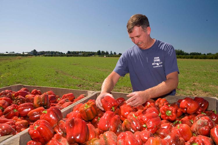 Doug Mason going through bins of red peppers