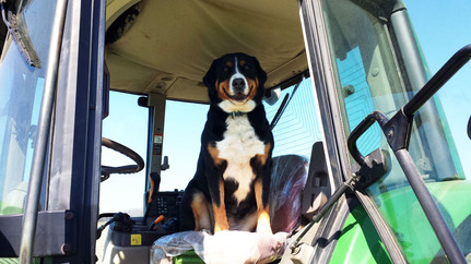 Greater Swiss Mountain Dog Sitting in a Tractor