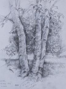 Birches Pencil Sketch 1992