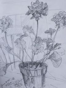 Geraniums Pencil Sketch 1992