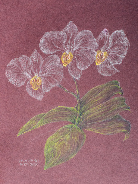 Phaleanopsis Colored Pencil March 2020