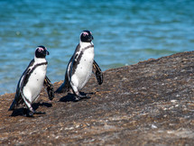 AFRICAN PENGUINS, SIMON'S TOWN, SOUTH AFRICA