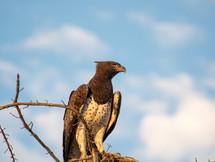 MARTIAL EAGLE, NAMIBIA