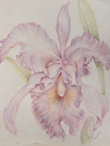 Orchid Series, No. 3 Colored Pencil 1996