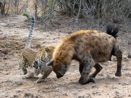 LEOPARD FIGHTING WITH SPOTTED HYENA