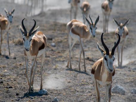 IMPALA, ETOSHA, NAMIBIA