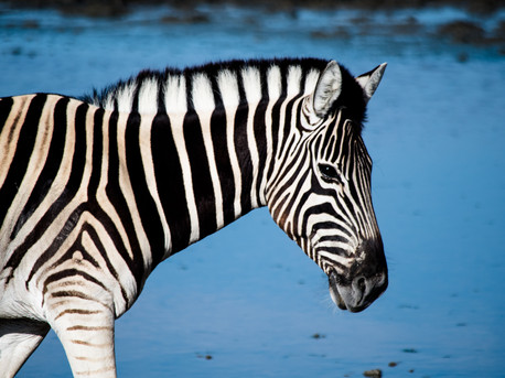 ZEBRA AT WATERING HOLE, NAMIBIA