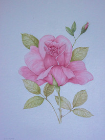 Study of a Rose Acrylic on Paper 2009