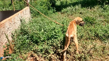 Homem é preso após amarrar cachorro e abandoná-lo para morrer em Mateus Leme