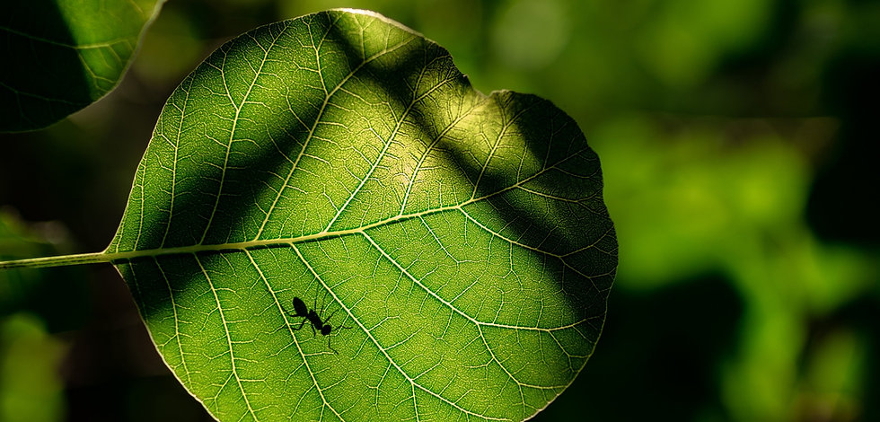 Black's Pest Control Ant On Leaf