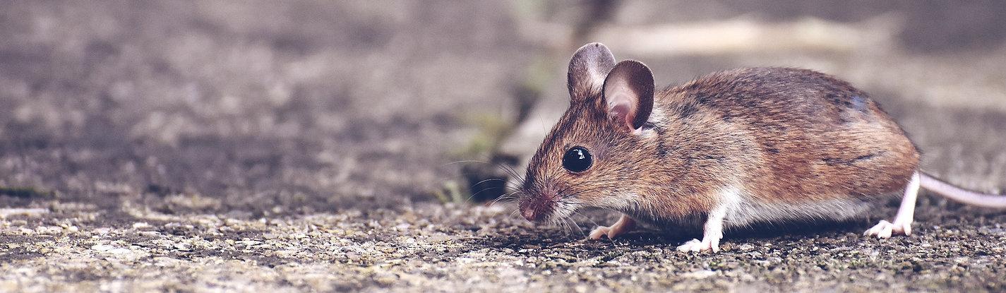 House Mouse Outside On Gravel