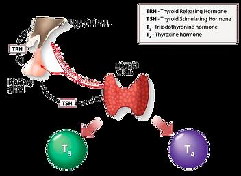 Thyroid-TRH-TSH-TH-axis-2.png